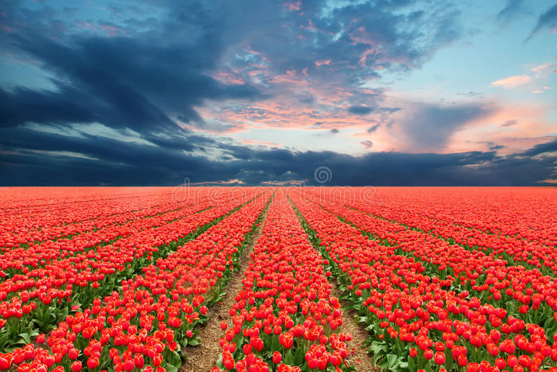 Τομέας τουλιπών στις Κάτω Χώρες στοκ φωτογραφία με δικαίωμα ελεύθερης χρήσης