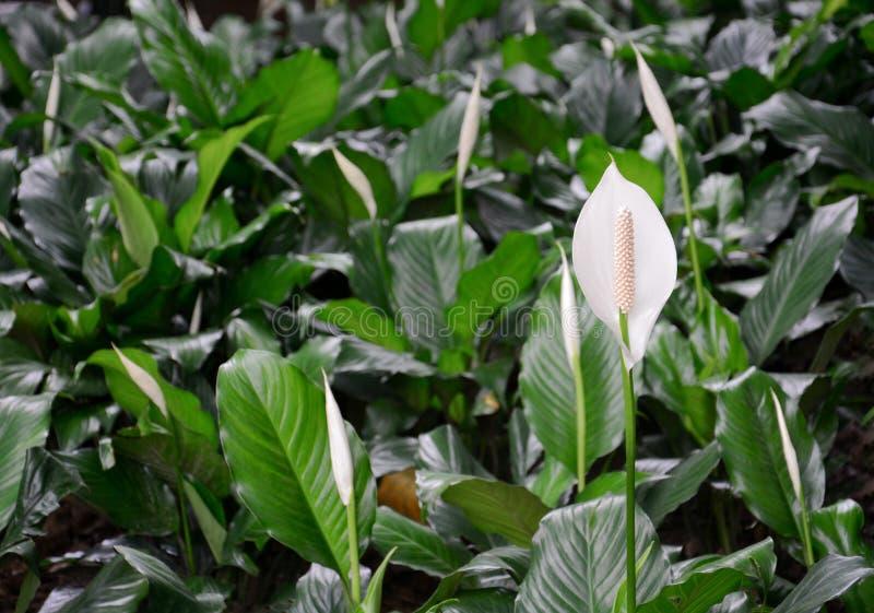 Τομέας του κρίνου spathiphyllum ή ειρήνης που ανθίζει στον κήπο στοκ φωτογραφία με δικαίωμα ελεύθερης χρήσης