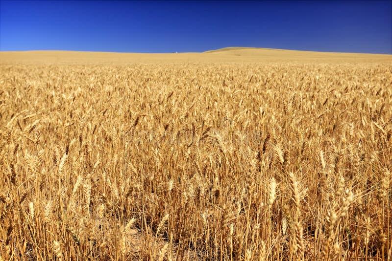 Τομέας του σίτου σε ένα αγρόκτημα σιταριού στο νότιο κεντρικό πολιτεία της Washington στοκ εικόνες