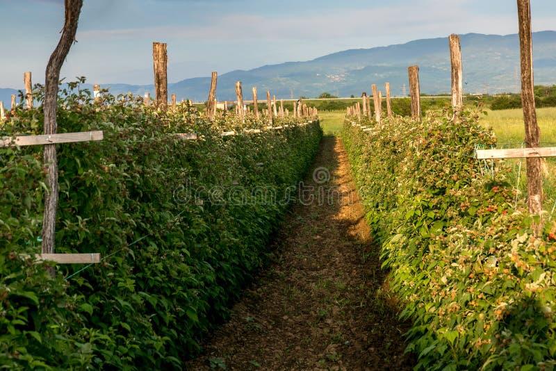 Τομέας του σμέουρου - αγρόκτημα στην αρχή του καλοκαιριού στοκ φωτογραφίες