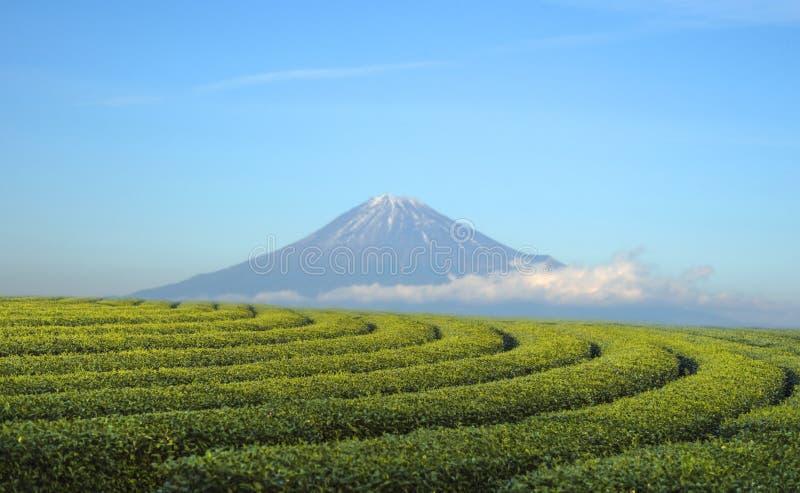 Τομέας τσαγιού με την ΑΜ Υπόβαθρο βουνών του Φούτζι στοκ εικόνες