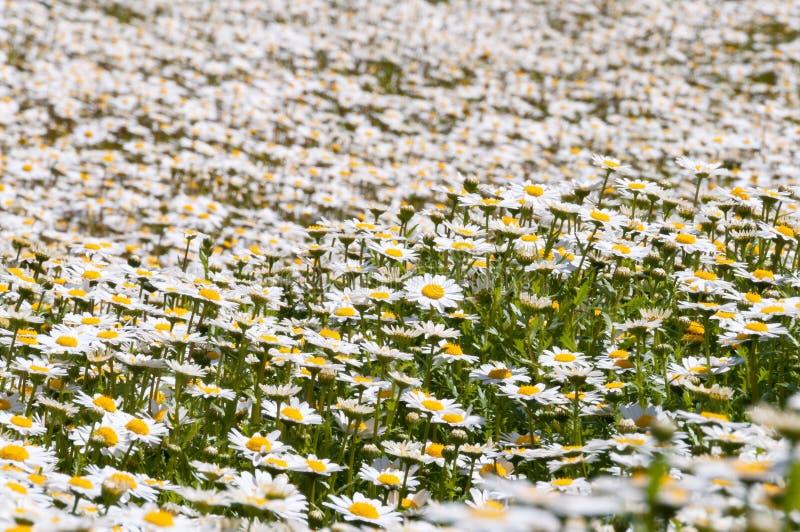 Τομέας των άσπρων λουλουδιών μαργαριτών, υπόβαθρο φύσης στοκ φωτογραφία