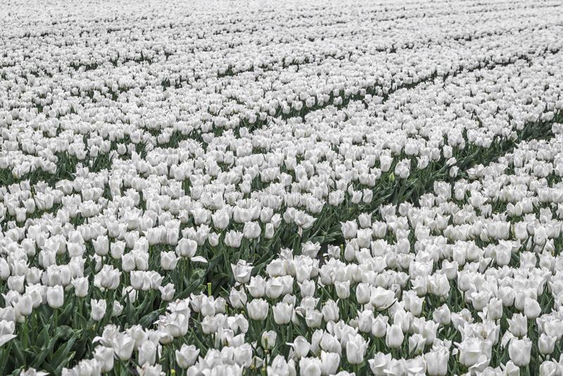 Τομέας των άσπρων τουλιπών στοκ φωτογραφίες με δικαίωμα ελεύθερης χρήσης