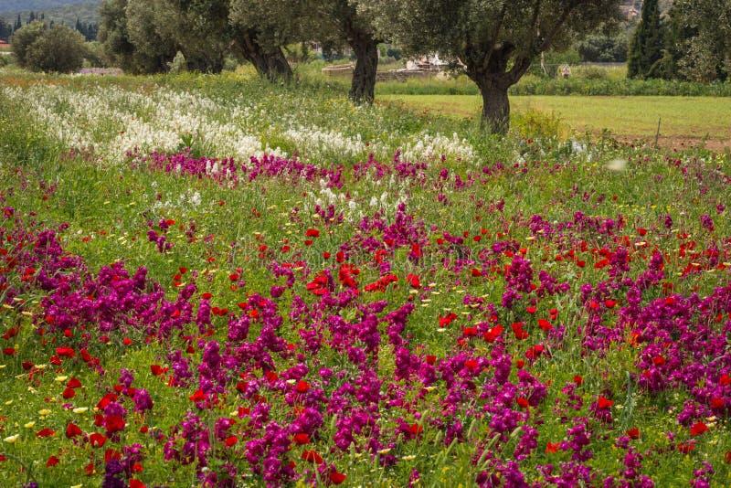 Τομέας των ζωηρόχρωμων λουλουδιών άνοιξη σε Schinias, Ελλάδα στοκ εικόνες