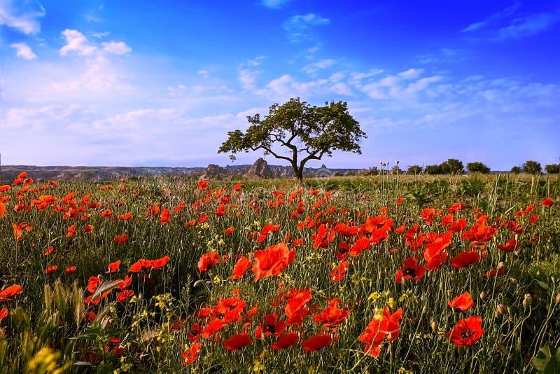 Τομέας των κόκκινων παπαρουνών και ένα δέντρο ανάπτυξης ενάντια σε έναν μπλε ουρανό στην Τουρκία στοκ εικόνα με δικαίωμα ελεύθερης χρήσης