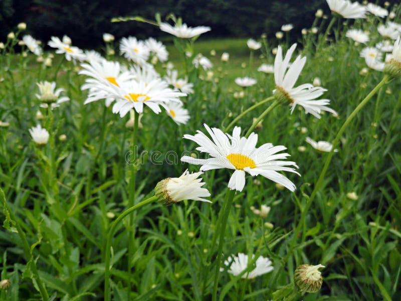 Τομέας των μαργαριτών - λουλούδια της Daisy στη χλόη στοκ φωτογραφία