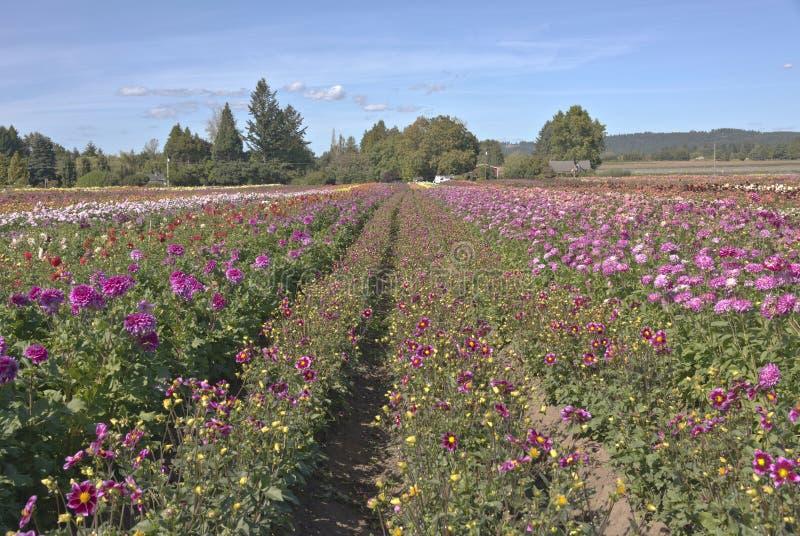 Τομέας των λουλουδιών νταλιών σε Canby Όρεγκον στοκ φωτογραφίες
