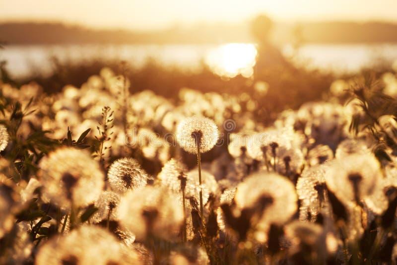 Τομέας των πικραλίδων στο ηλιοβασίλεμα με το φυσικό υπόβαθρο στοκ εικόνες με δικαίωμα ελεύθερης χρήσης
