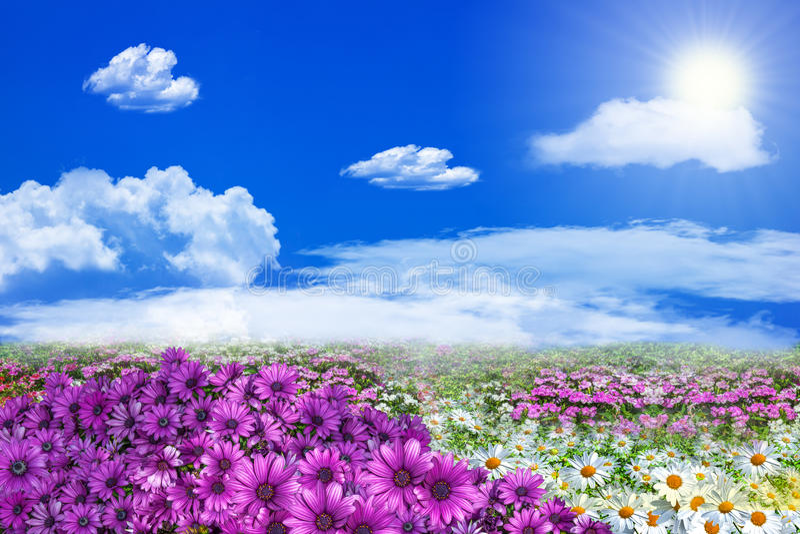 Τομέας των πορφυρών άσπρων λουλουδιών μαργαριτών και coluds στο σαφές μπλε στοκ εικόνα