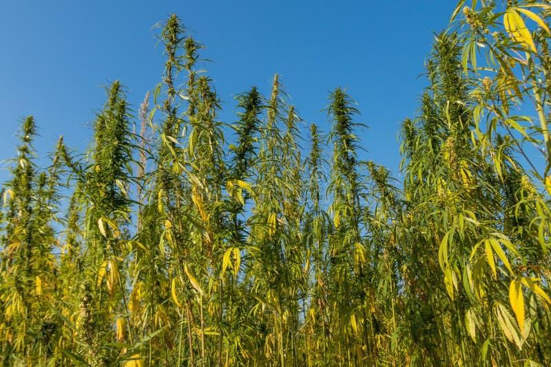 Τομέας των πράσινων εγκαταστάσεων μαριχουάνα καννάβεων στοκ εικόνες