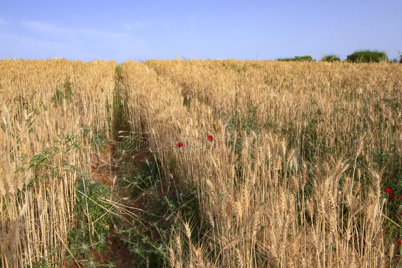 Τομέας των σειρών του χρυσού ώριμου σίτου με τα κόκκινα λουλούδια παπαρουνών στοκ εικόνες με δικαίωμα ελεύθερης χρήσης