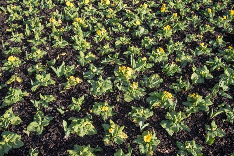Τομέας των όμορφων εγκαταστάσεων κήπων με τα κίτρινα λουλούδια σε μια σειρά στοκ εικόνες