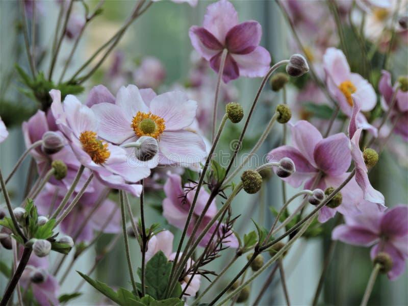 Τομέας των όμορφων ιωδών λουλουδιών στο θερινό πάρκο στο Ελσίνκι, Φινλανδία στοκ εικόνες