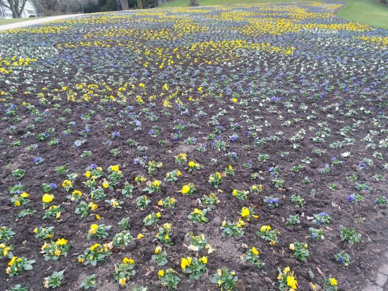 Τομέας των pansies κίτρινος και μπλε στοκ εικόνα με δικαίωμα ελεύθερης χρήσης