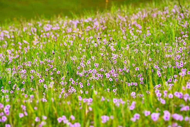 Τομέας των wildflowers Filaree Erodium που ανθίζει στην περιοχή κόλπων του νότιου Σαν Φρανσίσκο, νομός της Σάντα Κλάρα, San Jose, στοκ εικόνα