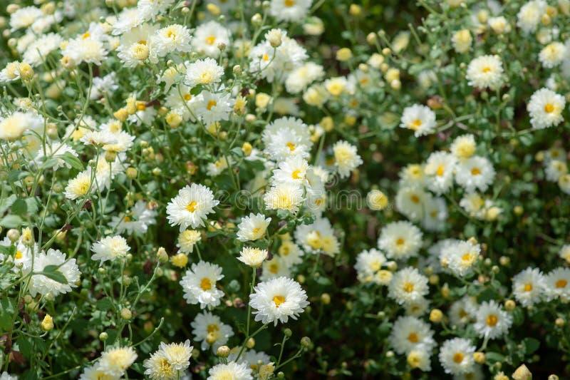 Τομέας χρυσάνθεμων: Άσπρο λουλούδι χρυσάνθεμων στον τομέα φυτειών για την παραγωγή της κινεζικής βοτανικής ιατρικής στοκ εικόνες