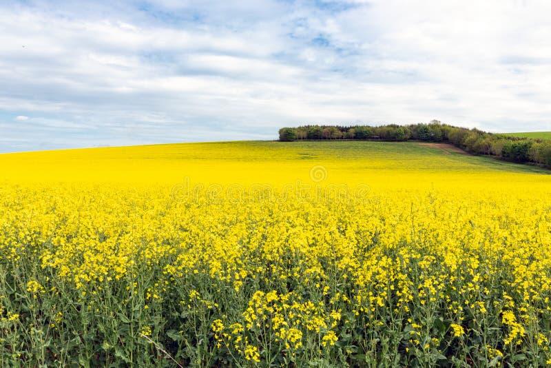 Τομέας Coleseed με τα ανθίζοντας κίτρινα λουλούδια στα σκωτσέζικα σύνορα στοκ εικόνα