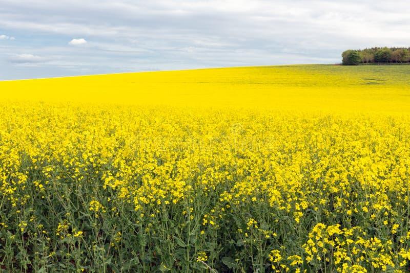Τομέας Coleseed με τα ανθίζοντας κίτρινα λουλούδια στα σκωτσέζικα σύνορα στοκ φωτογραφίες με δικαίωμα ελεύθερης χρήσης