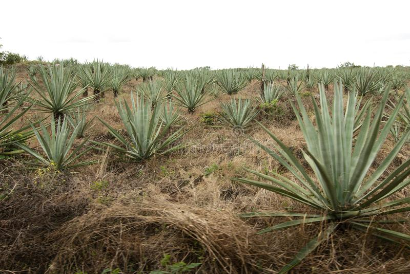 Τομέας Henequen Hacienda Sotuta de Peon στοκ εικόνες με δικαίωμα ελεύθερης χρήσης