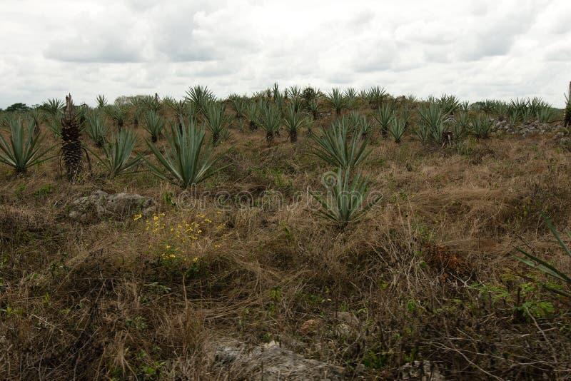 Τομέας Henequen Hacienda Sotuta de Peon στοκ φωτογραφία