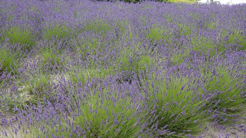 Τομέας Lavendel στο πρόγραμμα Ίντεν στην Κορνουάλλη στοκ εικόνα με δικαίωμα ελεύθερης χρήσης