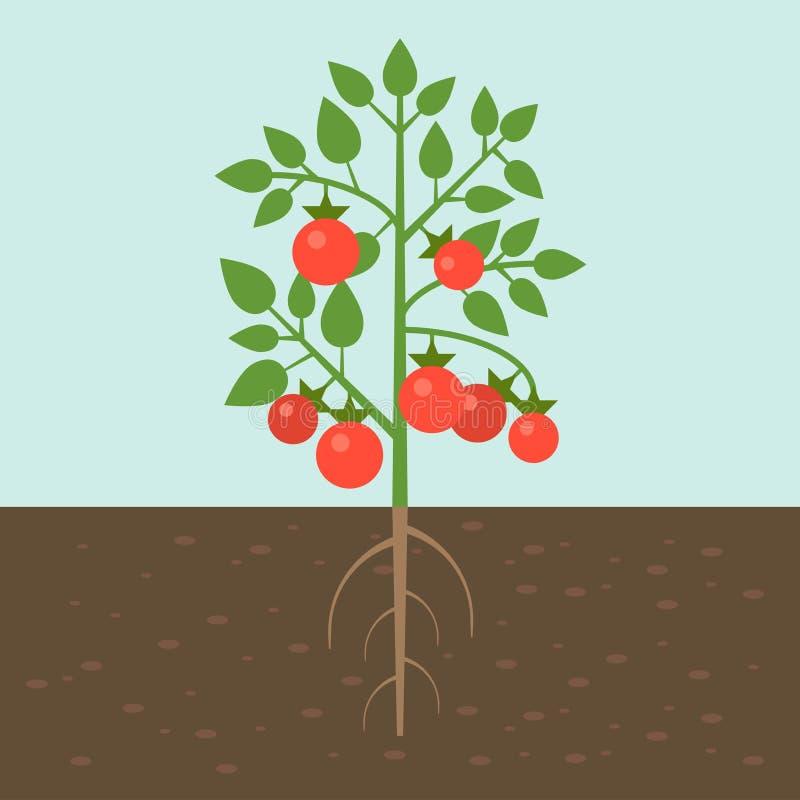 Τοματιές, φυτικές με τη ρίζα στην εδαφολογική σύσταση, επίπεδο σχέδιο απεικόνιση αποθεμάτων
