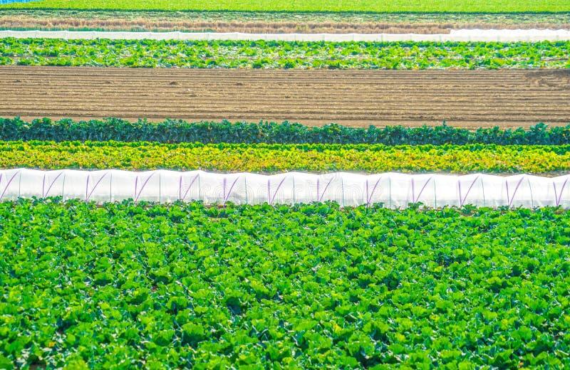 Τομείς και θερμοκήπια λάχανων στοκ φωτογραφίες
