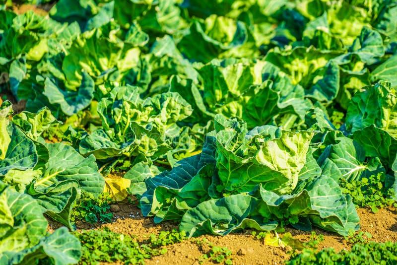 Τομείς και θερμοκήπια λάχανων στοκ εικόνα με δικαίωμα ελεύθερης χρήσης