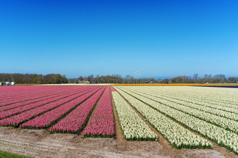 Τομείς λουλουδιών των πολύχρωμων υάκινθων κατά μήκος του καναλιού στη βόρεια περιοχή της Ολλανδίας, στοκ εικόνα