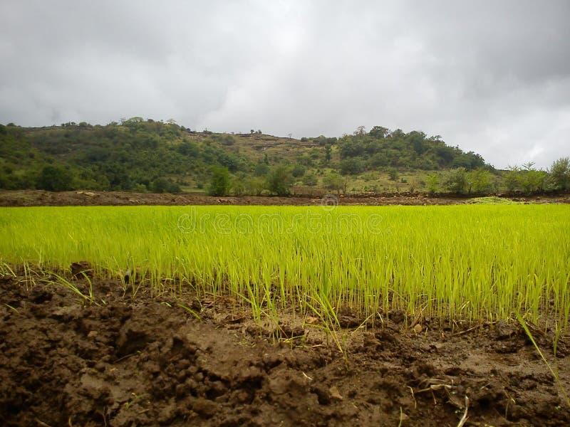 Τομείς ορυζώνα/ρυζιού στο μουσώνα στοκ εικόνες