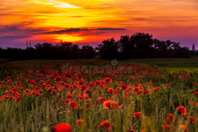 Τομείς παπαρουνών στο ηλιοβασίλεμα στοκ φωτογραφία με δικαίωμα ελεύθερης χρήσης