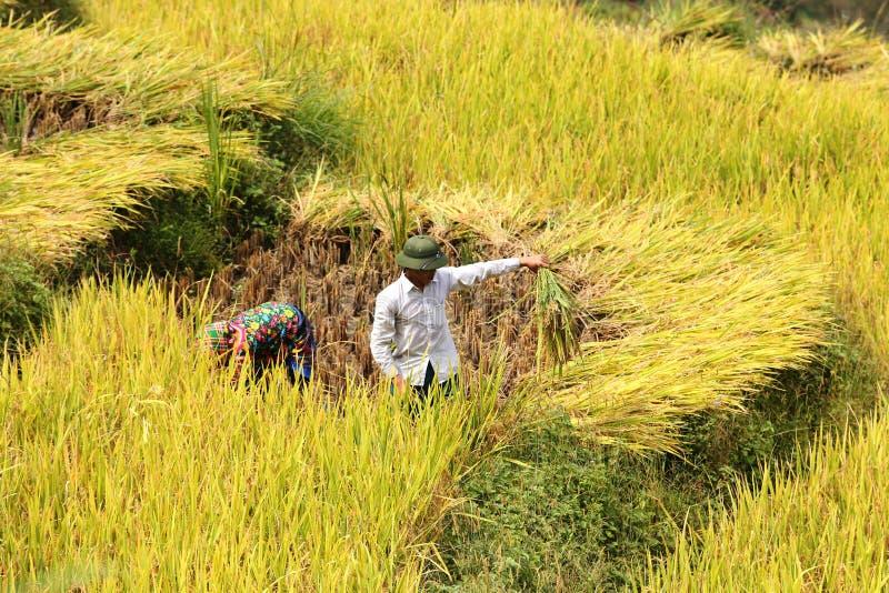 Τομείς πεζουλιών ρυζιού περικοπών ανδρών και γυναικών στο εκτάριο Giang στοκ εικόνα με δικαίωμα ελεύθερης χρήσης