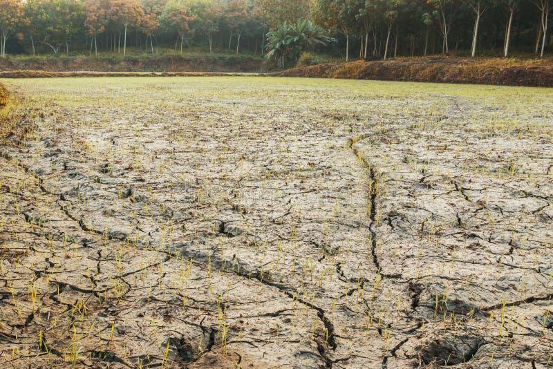 Τομείς ρυζιού κατά τη διάρκεια της περιόδου ανομβρίας στοκ εικόνες