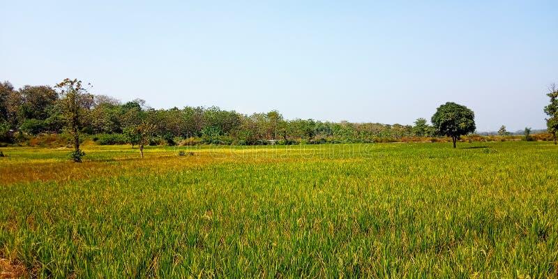 Τομείς ρυζιού με το πράσινο ρύζι στοκ φωτογραφία με δικαίωμα ελεύθερης χρήσης