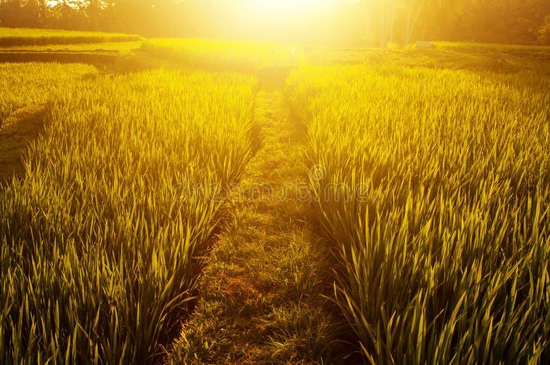 Τομείς ρυζιού ορυζώνα στοκ φωτογραφίες