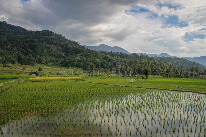 Τομείς ρυζιού ορυζώνα στην Ινδονησία στο νησί Sumatra στοκ εικόνες