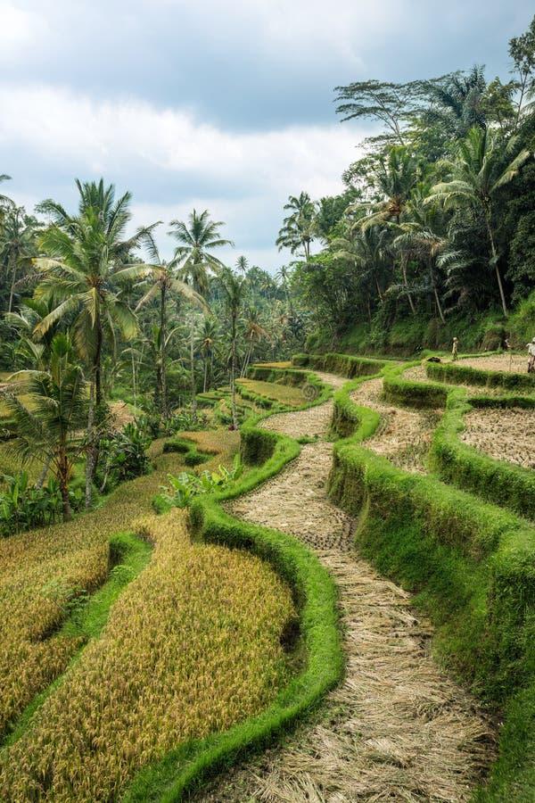 Τομείς ρυζιού πεζουλιών σε Ubud στοκ φωτογραφία με δικαίωμα ελεύθερης χρήσης