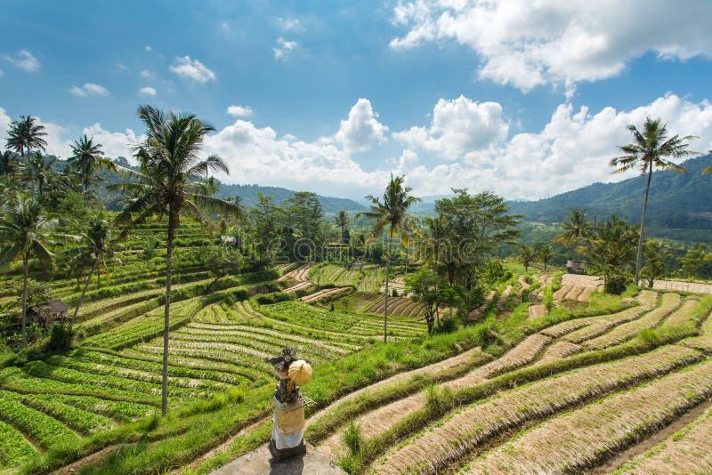 Τομείς ρυζιού πεζουλιών μια ηλιόλουστη ημέρα, Μπαλί στοκ εικόνα με δικαίωμα ελεύθερης χρήσης
