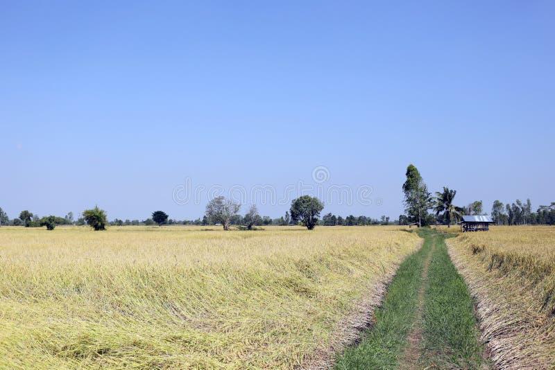 Τομείς ρυζιού σε αγροτικό στοκ εικόνα