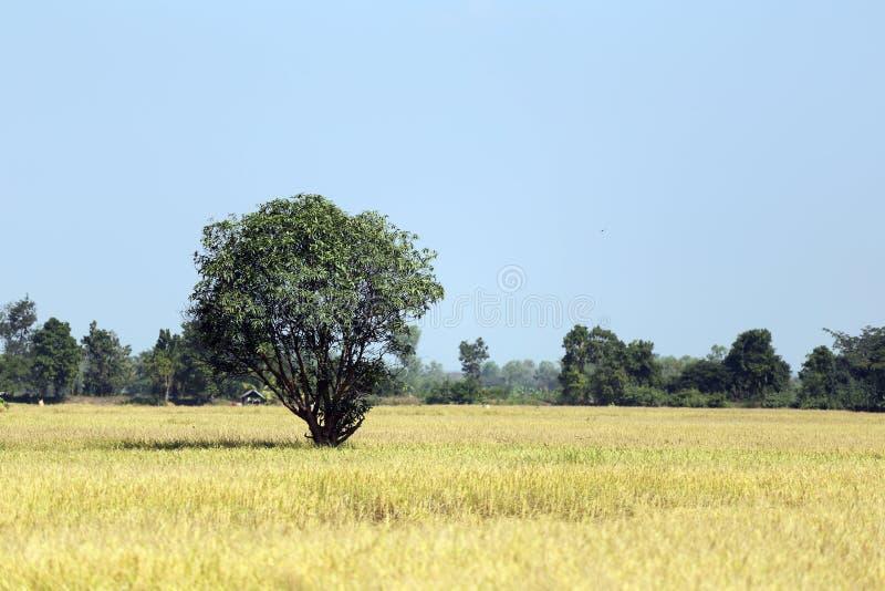 Τομείς ρυζιού σε αγροτικό στοκ εικόνες με δικαίωμα ελεύθερης χρήσης