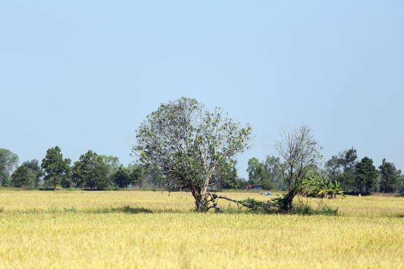 Τομείς ρυζιού σε αγροτικό στοκ φωτογραφία με δικαίωμα ελεύθερης χρήσης