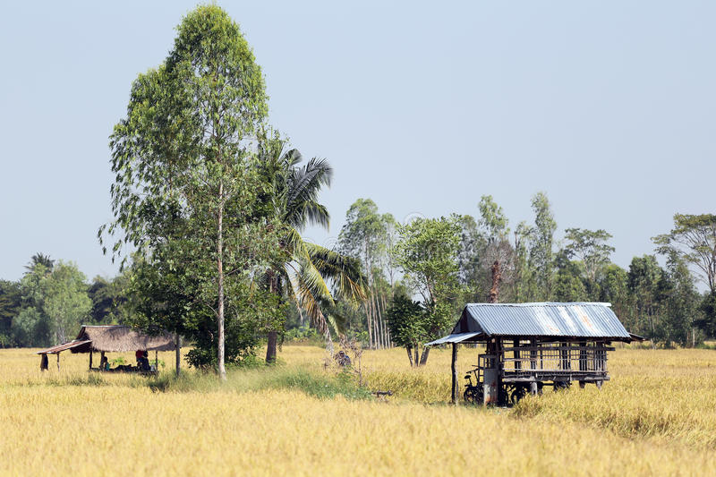 Τομείς ρυζιού σε αγροτικό στοκ φωτογραφίες με δικαίωμα ελεύθερης χρήσης