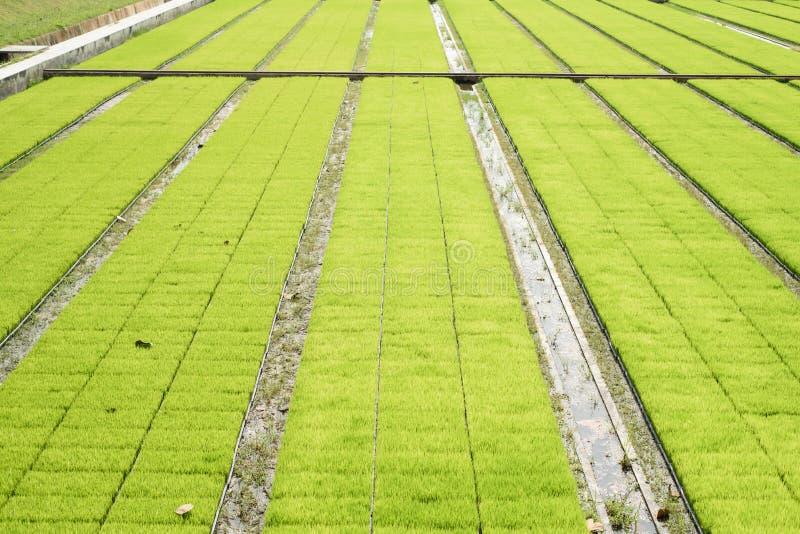 Τομείς ρυζιού σποροφύτων στοκ εικόνα