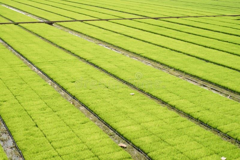 Τομείς ρυζιού σποροφύτων στοκ φωτογραφία με δικαίωμα ελεύθερης χρήσης