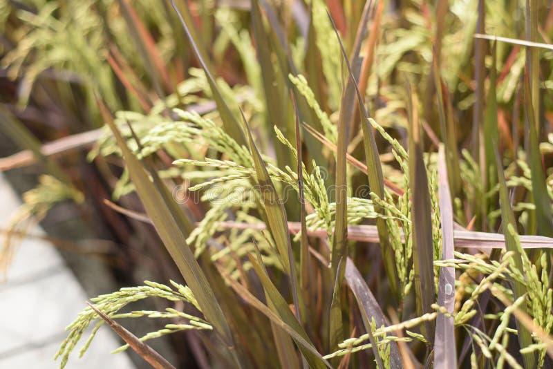 Τομείς ρυζιού σποροφύτων στοκ εικόνες με δικαίωμα ελεύθερης χρήσης