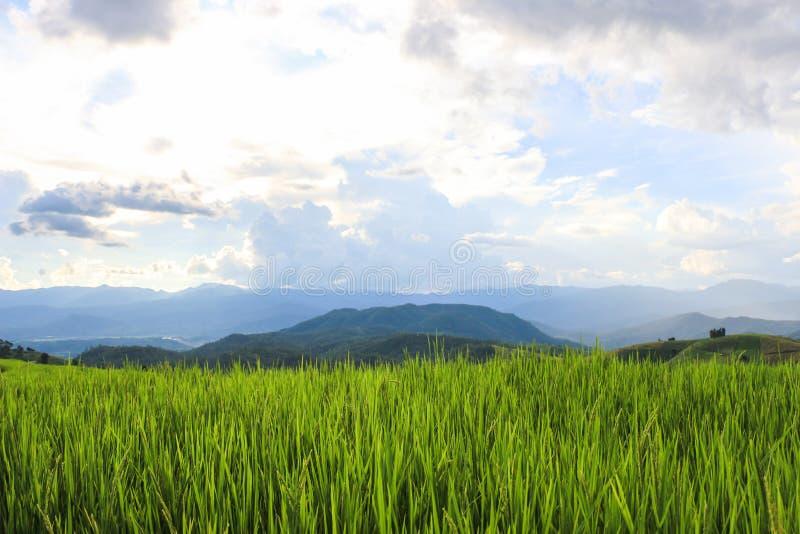 Τομείς ρυζιού στην επαρχία της Ταϊλάνδης στοκ φωτογραφία