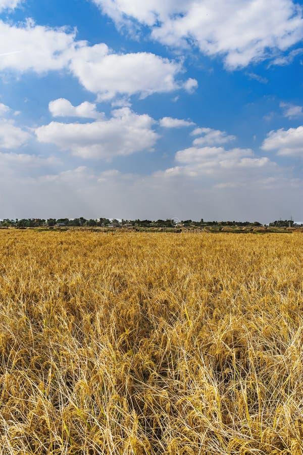Τομείς ρυζιού στη δυτική Βεγγάλη της Ινδίας στοκ εικόνα