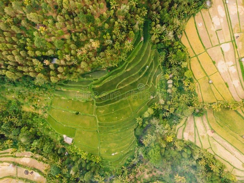 Τομείς ρυζιού στο νησί του Μπαλί Εναέρια άποψη με τα πεζούλια και τους φοίνικες στοκ φωτογραφία με δικαίωμα ελεύθερης χρήσης
