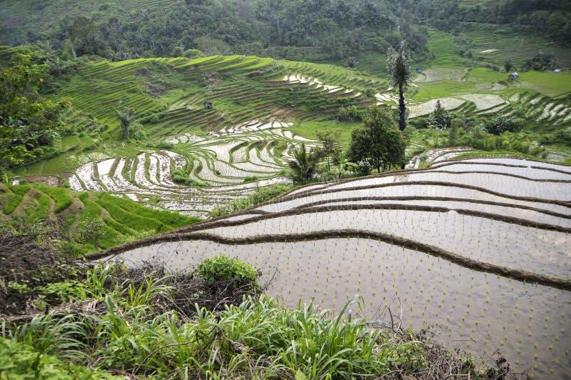 Τομείς ρυζιού στο sumatra στοκ φωτογραφία με δικαίωμα ελεύθερης χρήσης
