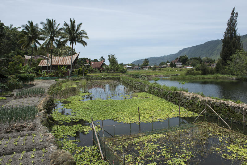 Τομείς ρυζιού Toba στη λίμνη, Sumatra στοκ φωτογραφίες